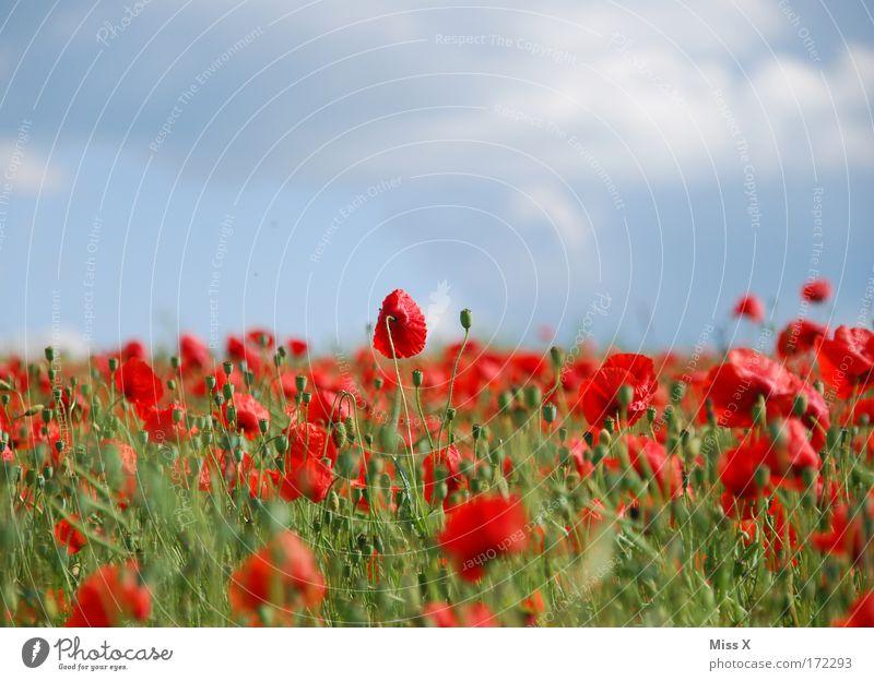 Poppy Farbfoto mehrfarbig Außenaufnahme Schwache Tiefenschärfe Natur Pflanze Sommer Schönes Wetter Blume Blüte Wiese Feld Hügel Wachstum Duft rot Drogensucht