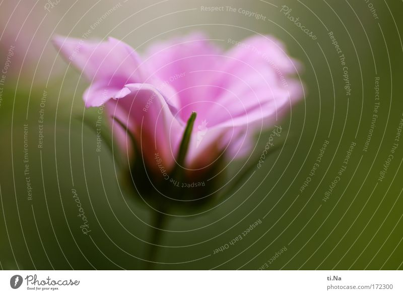 Cosmos Farbfoto Makroaufnahme Textfreiraum rechts Textfreiraum unten Schwache Tiefenschärfe Gartenarbeit Gemälde Aquarell Natur Tier Frühling Sommer Pflanze