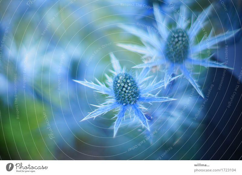 Blaudistel Mannstreu Edeldistel Distel Distelblüte Distelrosette Doldenblütler Eryngium blau Natur stachelig Spitze Pflanze