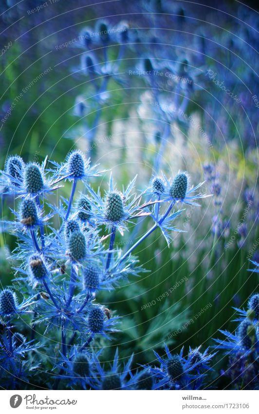 Widerborstiger Mannstreu Pflanze Edeldistel Distel Doldenblütler Eryngium Blaudistel blau Natur Sommer stachelig Farbfoto Außenaufnahme