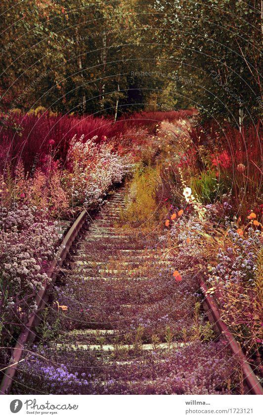 Blumen überwuchern stillgelegte Gleise Sommerblumen Pflanze Wiesenblume wild natürlich Naturwuchs bewachsen stilllegen üppig (Wuchs)