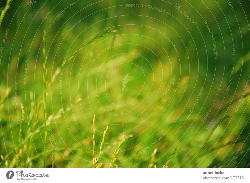 Sommerwiese Natur grün Pflanze Tier ruhig Umwelt Wiese Wärme Gras Glück Park Hintergrundbild Zufriedenheit Feld ästhetisch