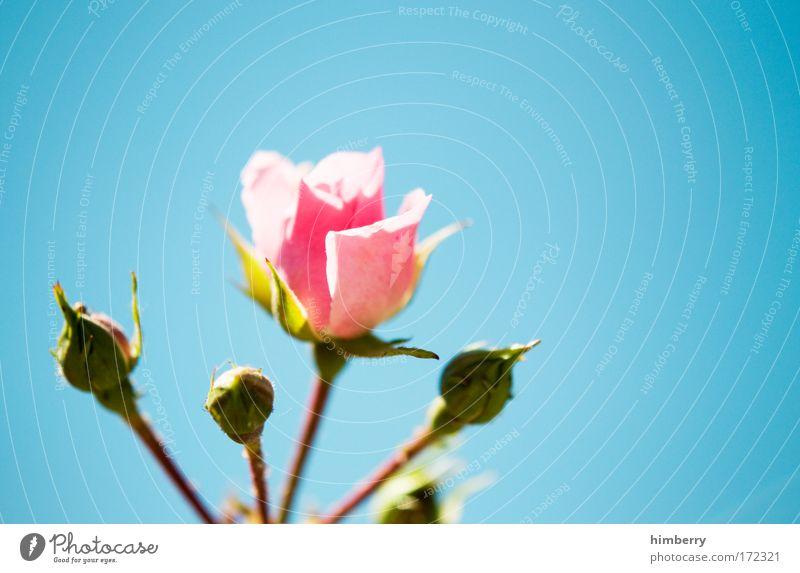 rosenstolz Natur schön Himmel Blume Pflanze Sommer Blüte Frühling Glück Gesundheit Design Umwelt frisch Rose Fröhlichkeit ästhetisch