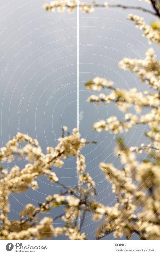 scraped sky Farbfoto Außenaufnahme Textfreiraum oben Natur Luft Himmel Wolkenloser Himmel Schönes Wetter Baum Blüte Kirschblüten Kirschbaum Park Luftverkehr