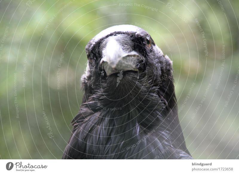 Ravenhead Natur grün Tier ruhig schwarz kalt grau Vogel Wildtier Freundlichkeit Neugier Gelassenheit Wachsamkeit Tiergesicht Zoo gefangen
