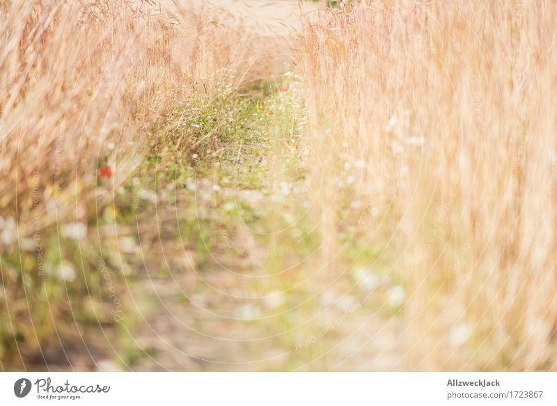 Kornfeld 8 Landschaft Sommer Nutzpflanze Feld gelb gold Getreidefeld Ernte Fußweg goldgelb Farbfoto Außenaufnahme Nahaufnahme Detailaufnahme Menschenleer Tag