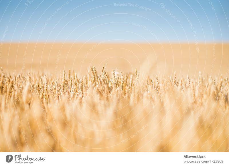 Kornfeld 3 Landschaft Sommer Nutzpflanze Feld gelb gold Getreide Getreidefeld Ernte Landwirtschaft Farbfoto Außenaufnahme Nahaufnahme Detailaufnahme