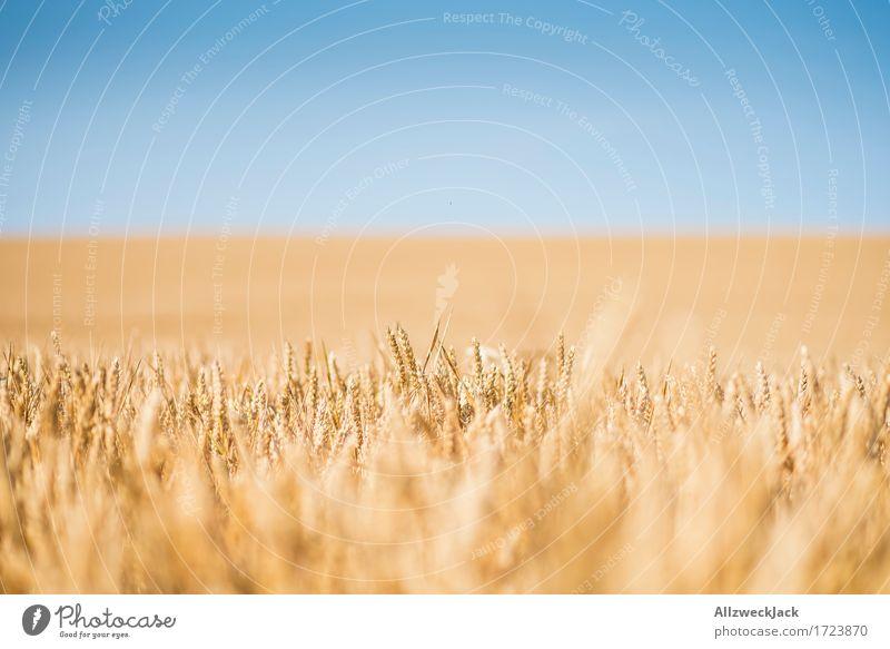 Kornfeld 2 Landschaft Sommer Nutzpflanze Feld gelb gold Landwirtschaft Getreide Getreidefeld Farbfoto Außenaufnahme Nahaufnahme Detailaufnahme Menschenleer Tag