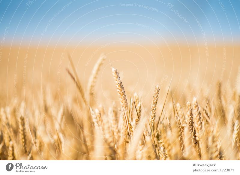 Kornfeld 1 Landschaft Sommer Nutzpflanze Feld gelb gold Landwirtschaft Getreide Getreidefeld Farbfoto Außenaufnahme Nahaufnahme Detailaufnahme Menschenleer Tag