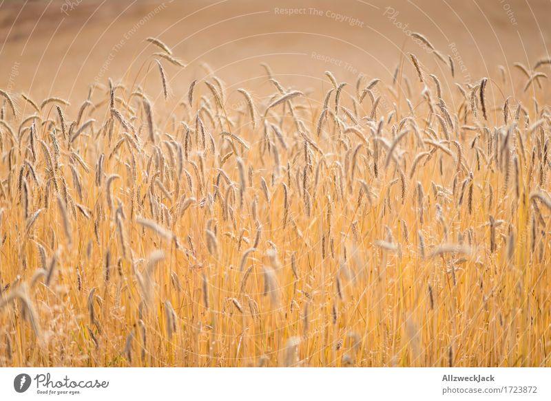 Kornfeld 5 Landschaft Sommer Nutzpflanze Feld gelb gold Landwirtschaft Getreide Getreidefeld Ähren Ernte goldgelb Farbfoto Außenaufnahme Nahaufnahme