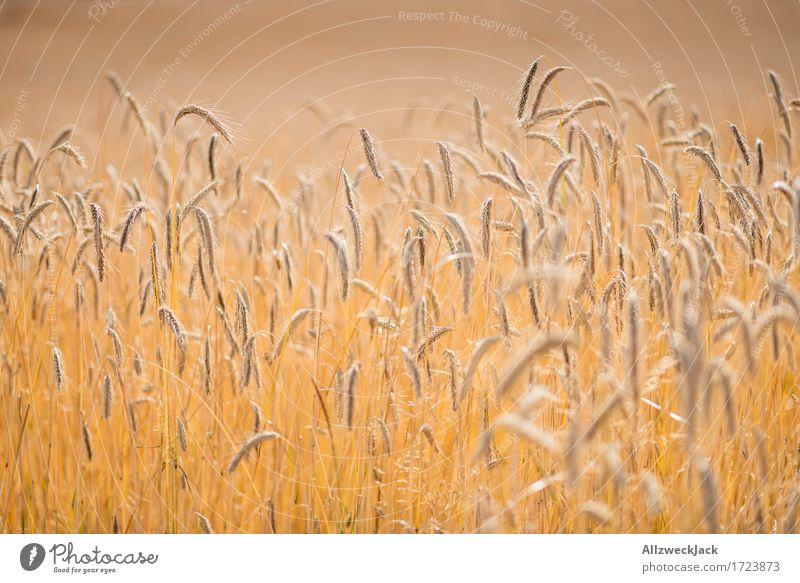 Kornfeld 6 Landschaft Sommer Nutzpflanze Feld gelb gold Getreidefeld Ernte Landwirtschaft goldgelb Ähren Farbfoto Außenaufnahme Nahaufnahme Detailaufnahme