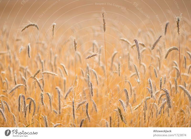 Kornfeld 7 Landschaft Sommer Nutzpflanze Feld gelb gold Landwirtschaft Getreide Getreidefeld Ähren Ernte goldgelb Farbfoto Außenaufnahme Nahaufnahme