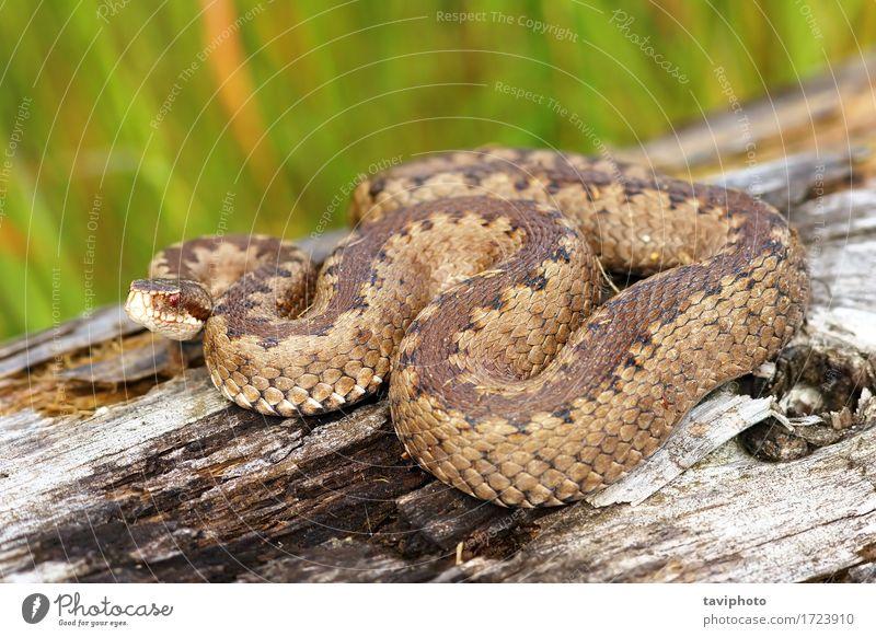 Kreuzotter, der auf Stumpf aalt Frau Natur schön Tier Erwachsene Umwelt braun wild Angst Wildtier gefährlich Fotografie Europäer Gift Schlange Reptil