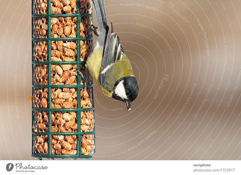 Kohlmeise, die auf Vogelzufuhr einzieht Natur Farbe schön Tier Winter schwarz gelb natürlich klein Garten wild sitzen Feder Jahreszeiten Beautyfotografie