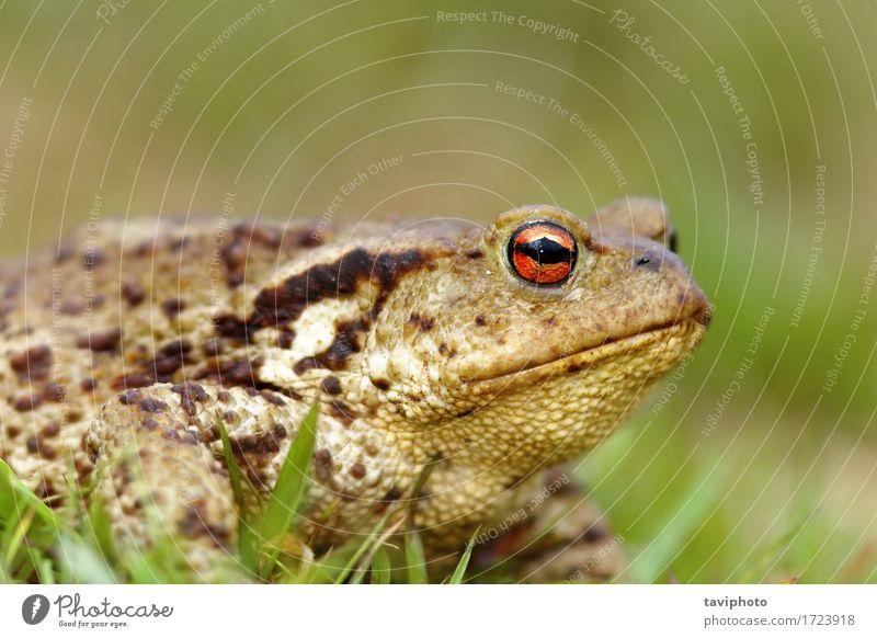 Makroaufnahme der Erdkröte Leben Erwachsene Umwelt Natur Tier lustig natürlich niedlich wild braun grün Kopf allgemein Unke Frosch Amphibie Bufo hässlich