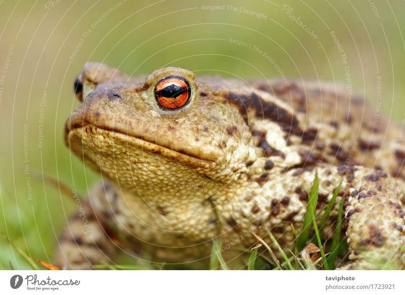 Porträt der braunen Erdkröte Haut Leben Umwelt Natur Tier Gras natürlich niedlich schleimig wild grün Unke Frosch Amphibie Bufo Lebewesen horizontal allgemein