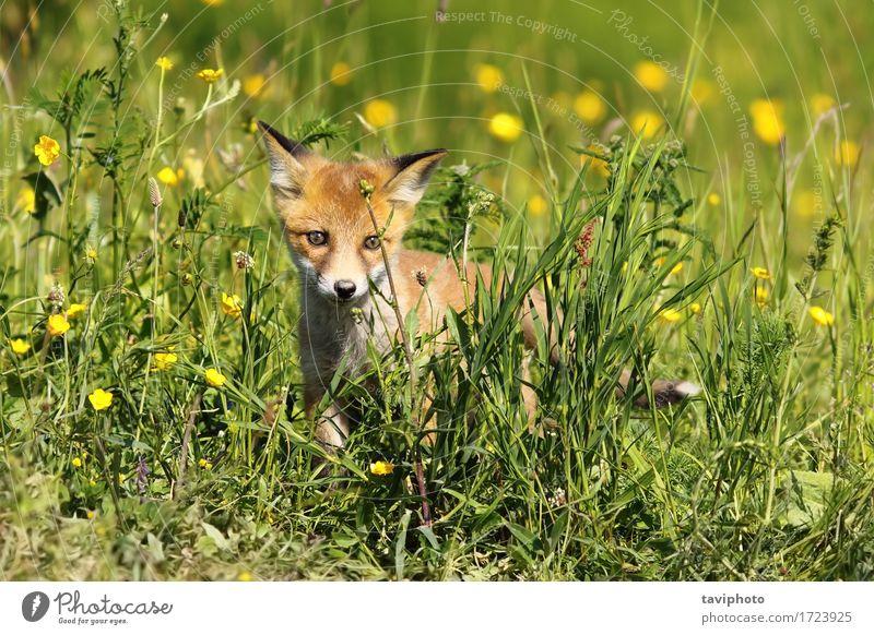 kleiner junger Fuchs Hund Natur schön grün rot Tier Tierjunges Umwelt natürlich Gras braun wild Baby niedlich Beautyfotografie