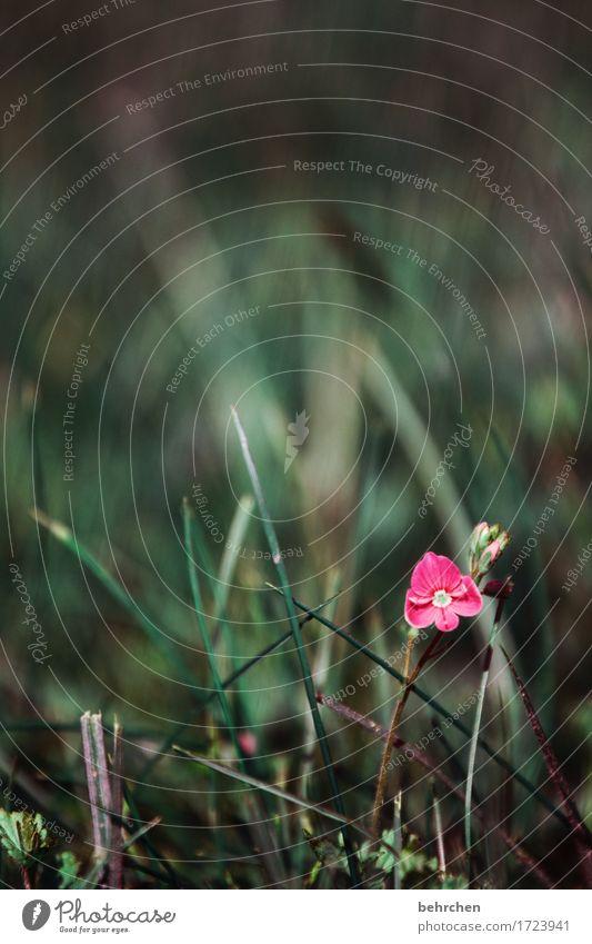 einzelstück Natur Pflanze Sommer Schönes Wetter Blume Gras Blatt Blüte Veronica Garten Park Wiese Feld Blühend Duft dunkel schön klein Mut Hoffnung Einsamkeit
