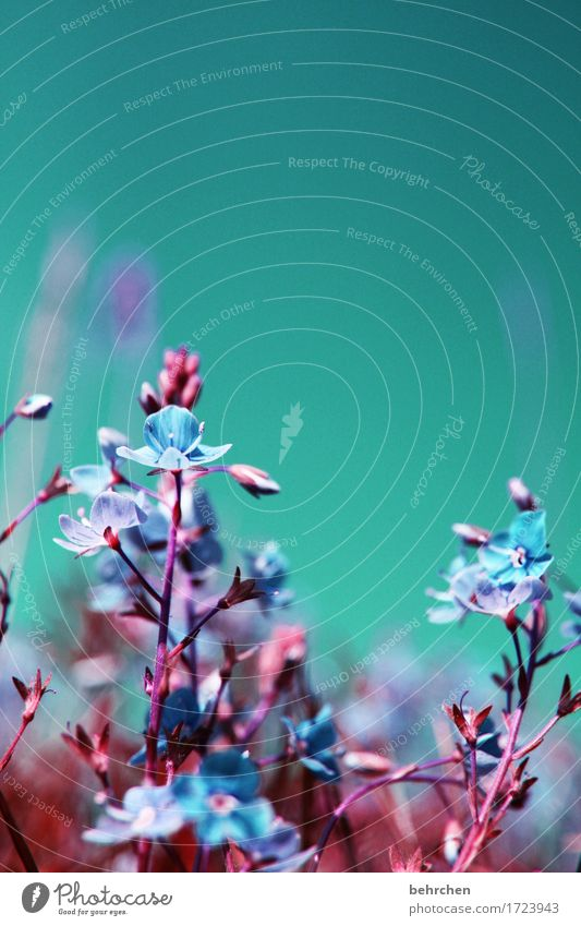 wenn jetzt sommer wär... Natur Pflanze Himmel Wolkenloser Himmel Sommer Schönes Wetter Blume Gras Blatt Blüte Wildpflanze Veronica Garten Park Wiese Feld
