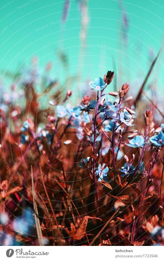 gegen die kälte anblühen! Natur Pflanze Himmel Sommer Schönes Wetter Blume Gras Blatt Blüte Veronica Garten Park Wiese Feld Blühend Duft schön klein sommerlich
