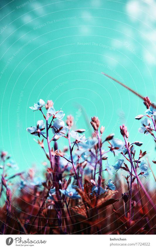 durchatmen Natur Pflanze Himmel Wolken Sommer Schönes Wetter Blume Gras Blatt Blüte Wildpflanze Veronica Garten Park Wiese Feld Blühend Duft schön klein
