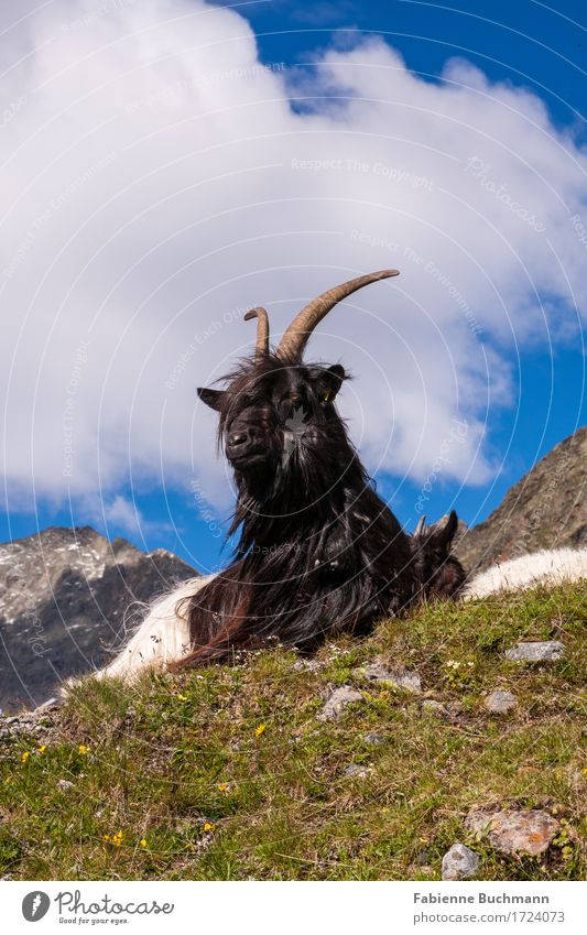 Major Tom Sommer Berge u. Gebirge wandern Landschaft Tier Himmel Wolken Gras Alpen Nutztier Ziegen Alm 1 sitzen blau braun grau grün weiß Horn Ziegenfell