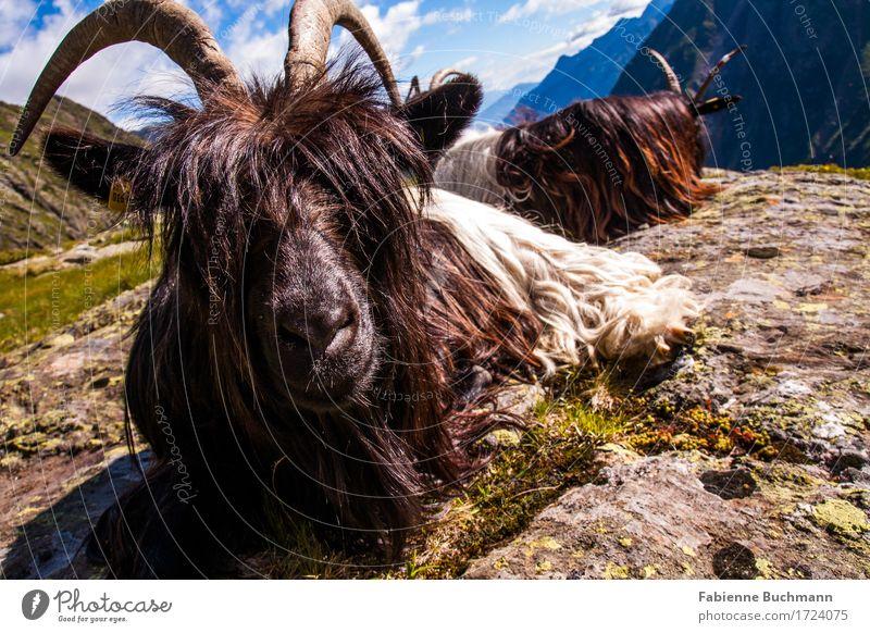 it's all about looks Sommer Sonne Berge u. Gebirge wandern Landschaft Tier Schönes Wetter Alpen Nutztier Tiergesicht Fell Ziegen Horn 2 sitzen blau braun grau