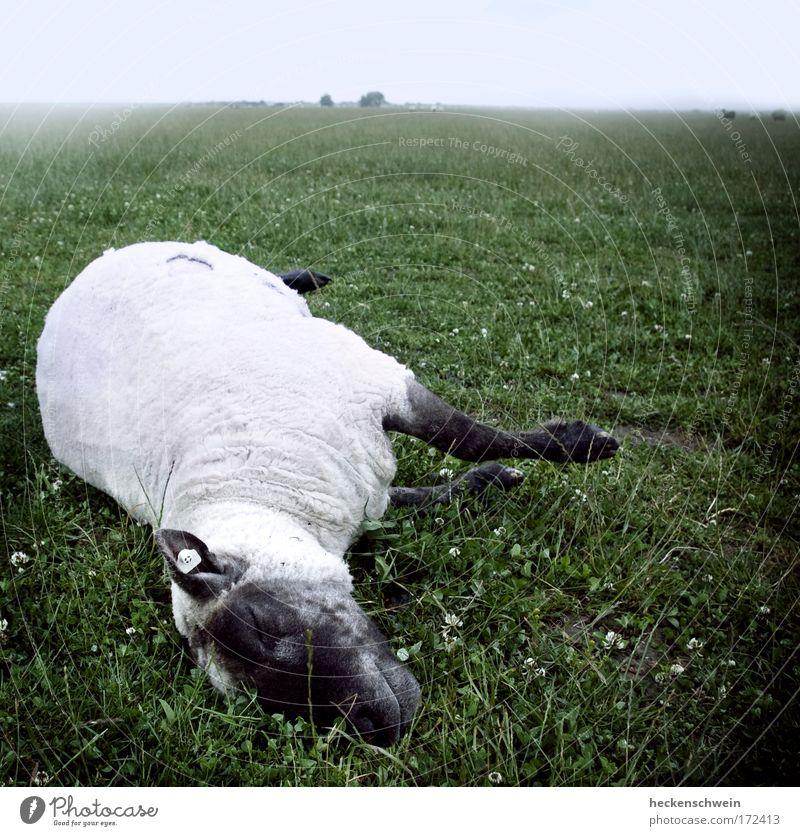 Der Tod und das Schäfchen Natur Landschaft Himmel Wolken Horizont schlechtes Wetter Nebel Gras Wiese Feld Tier Haustier Nutztier Totes Tier 1 Herde liegen
