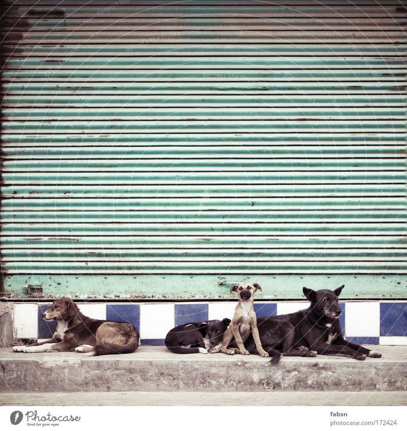 GANGS OF DARJEELING Farbfoto Außenaufnahme Menschenleer Textfreiraum oben Totale Tier Hund 4 Rudel Tierfamilie liegen Blick sitzen Zusammensein Neugier Rolltor