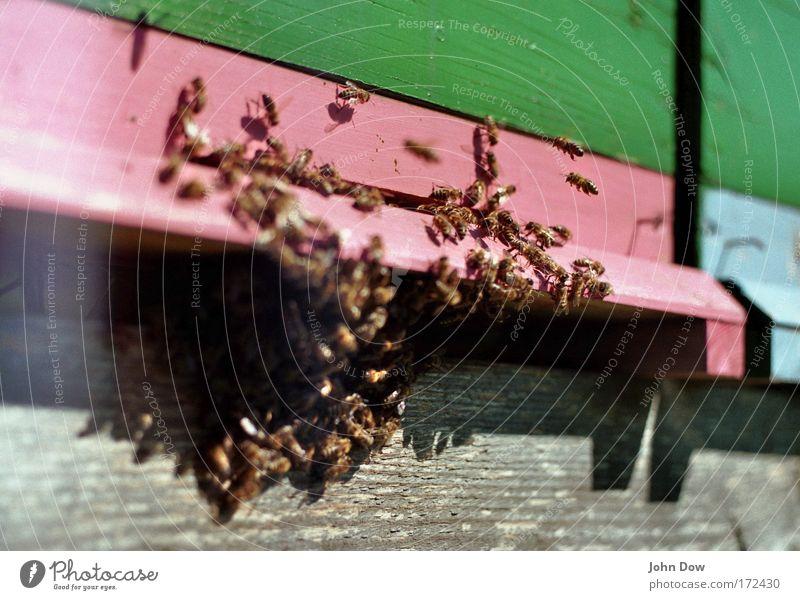 Der Schwarm Textfreiraum oben Textfreiraum unten Unschärfe Bewegungsunschärfe Tierporträt Nutztier Biene Honigbiene Tiergruppe grün rosa Tatkraft Mittelpunkt
