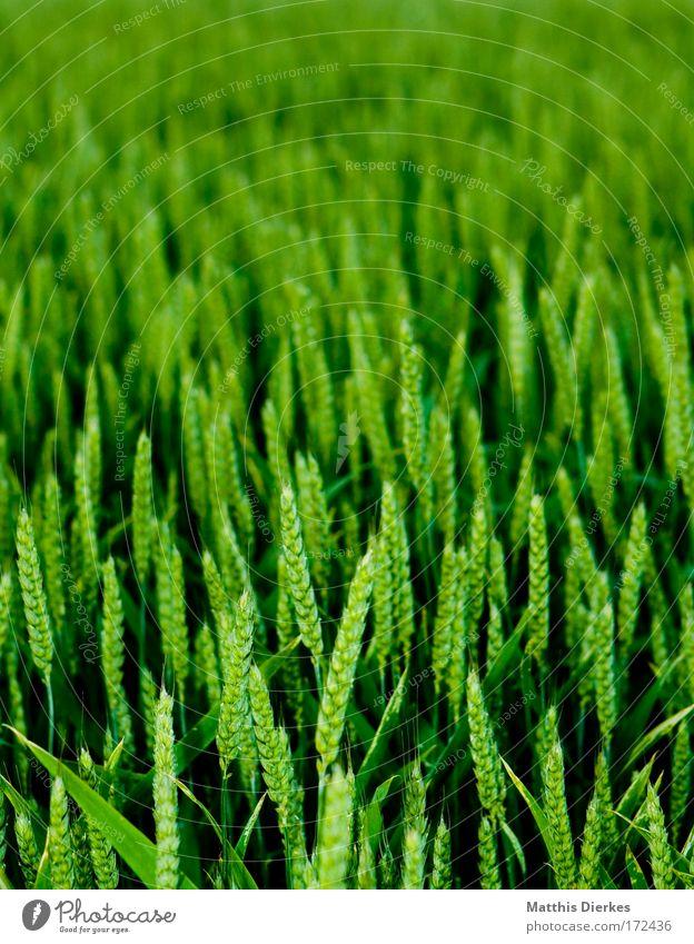 wachsen Natur Pflanze Sommer Arbeit & Erwerbstätigkeit Wiese Feld Umwelt Wachstum Sträucher füttern verblüht dehydrieren