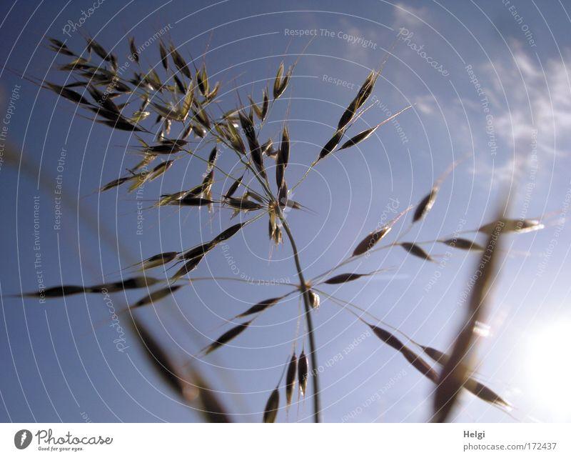 einfach nur Gras... Natur Himmel weiß Sonne grün blau Pflanze Sommer Wolken Gras Bewegung braun Feld Umwelt ästhetisch Wachstum