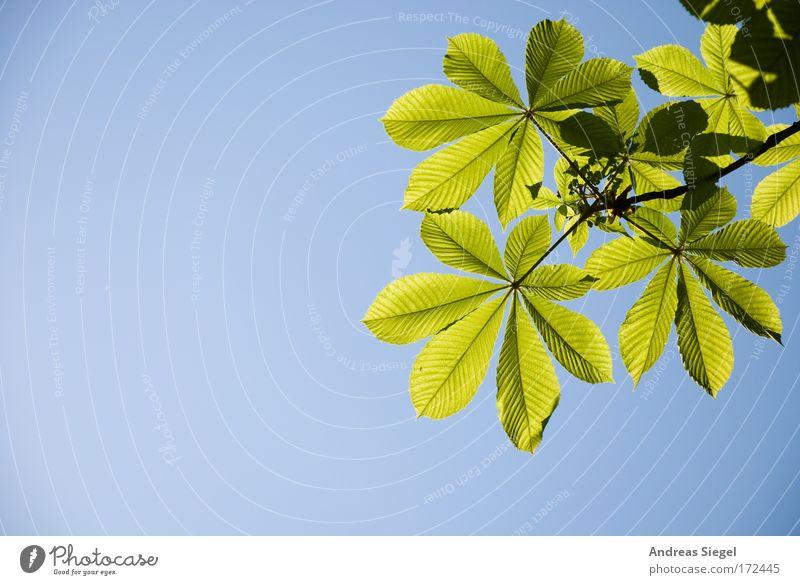 Kastanie Himmel Natur blau Pflanze grün Erholung Blatt Umwelt Frühling natürlich träumen Zufriedenheit Luft leuchten Wachstum frisch