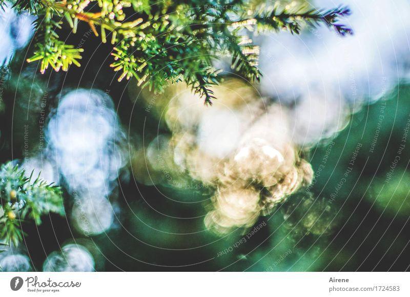 geballtes Licht Natur Pflanze Sonne Sonnenlicht Sommer Grünpflanze Wacholder Zweig Nadelbaum Garten Wald glänzend leuchten außergewöhnlich fantastisch positiv
