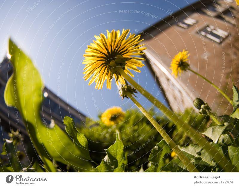 Löwenzahn Farbfoto Außenaufnahme Menschenleer Tag Sonnenlicht Schwache Tiefenschärfe Froschperspektive Fischauge Umwelt Natur Pflanze Erde Himmel Frühling Klima