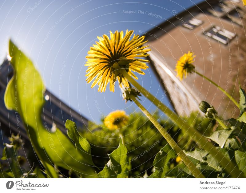 Löwenzahn Himmel Natur blau grün schön Pflanze gelb Wiese Umwelt Gras Blüte Frühling Kraft Erde natürlich groß