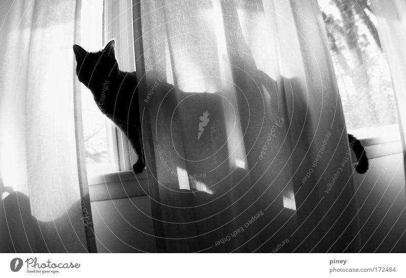 Katze weiß Tier schwarz Fenster dunkel Holz natürlich wild elegant laufen frei Fröhlichkeit ästhetisch niedlich beobachten