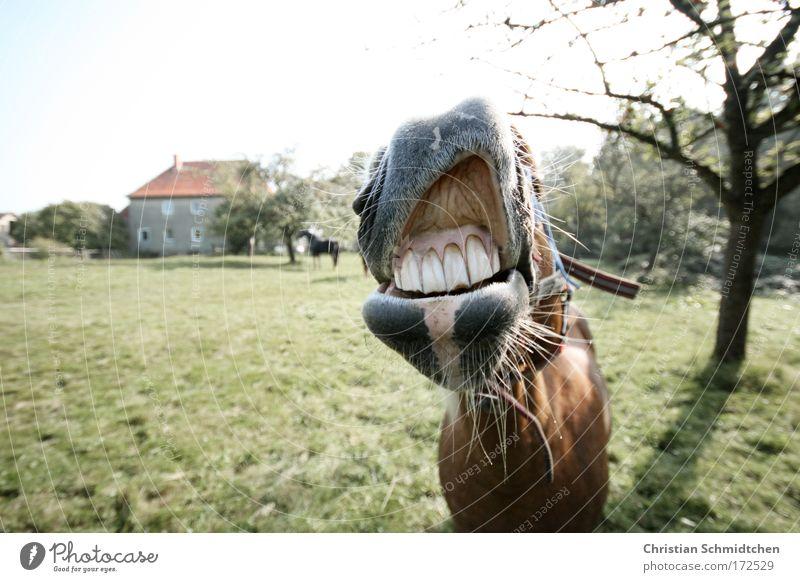Lachendes Pferd Farbfoto Außenaufnahme Textfreiraum links Tag Sonnenlicht Schwache Tiefenschärfe Zentralperspektive Tierporträt Blick in die Kamera Tiergesicht