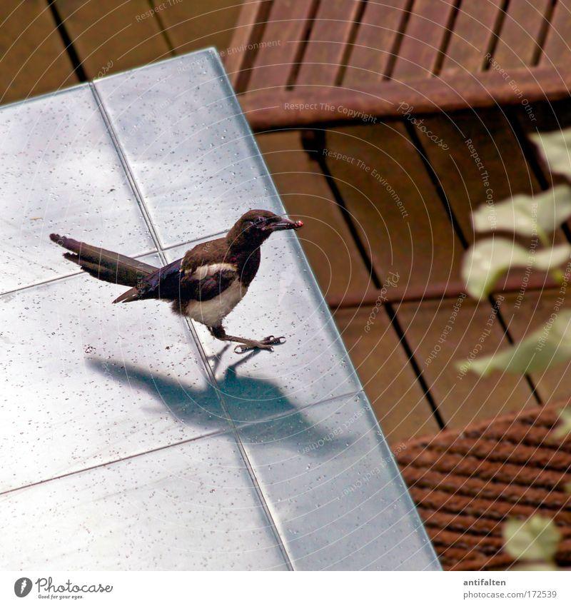 Auf frischer Tat ertappt Natur blau Pflanze Sommer Aktion Tier grau Vogel Tisch Flügel Rabenvögel Terrasse Beeren frech Krallen Nahrungssuche