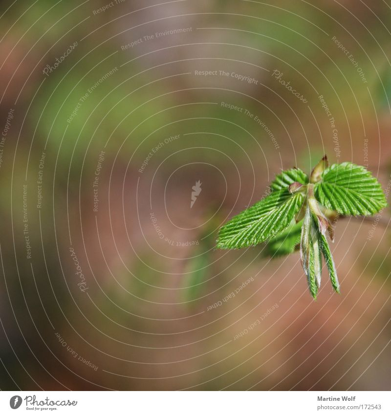 Wachstum Umwelt Natur Pflanze Frühling Blatt Grünpflanze braun grün Blattadern Blattgrün Jungpflanze Farbfoto Außenaufnahme Makroaufnahme Menschenleer