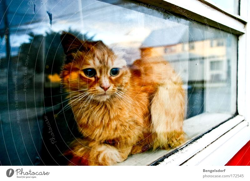 The other side of the world Fenster Tier Haustier Katze Tiergesicht Fell Pfote 1 beobachten liegen träumen ruhig Neugier Hoffnung Traurigkeit Sehnsucht Fernweh