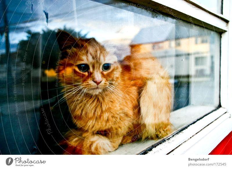 The other side of the world ruhig Einsamkeit Tier Fenster träumen Traurigkeit Katze Hoffnung Tiergesicht liegen beobachten Sehnsucht Fell Neugier Barriere