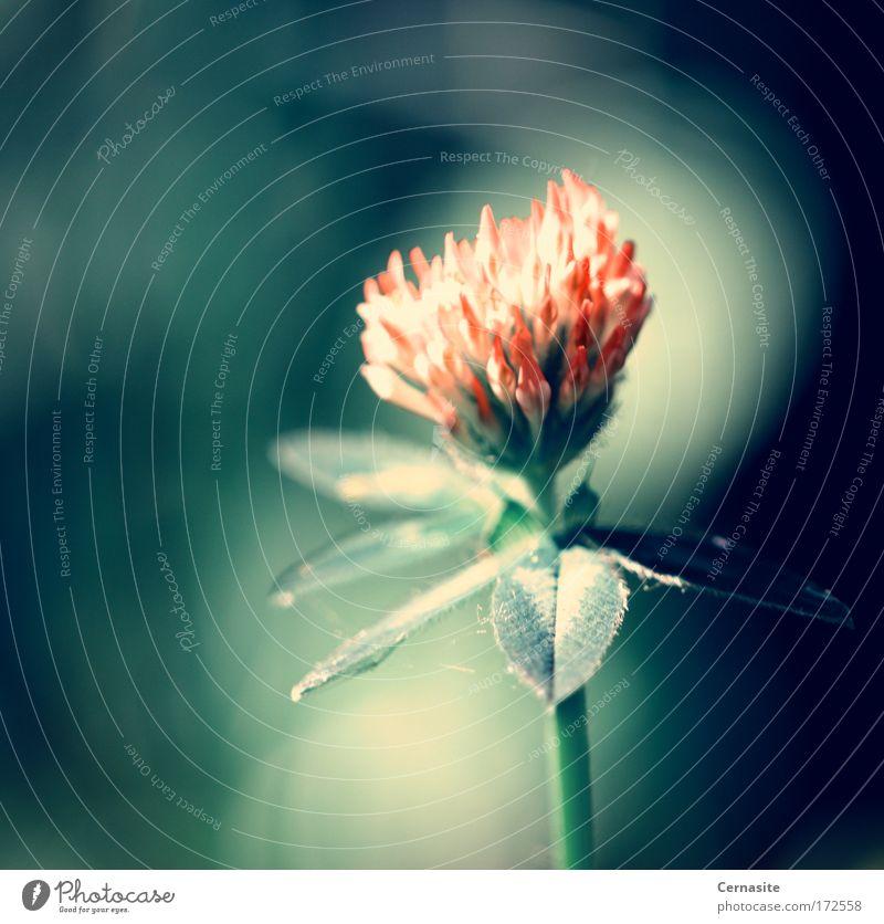Blutblume Farbfoto Gedeckte Farben Nahaufnahme Hintergrund neutral Tag Licht Schatten Kontrast Sonnenlicht Schwache Tiefenschärfe Froschperspektive Natur