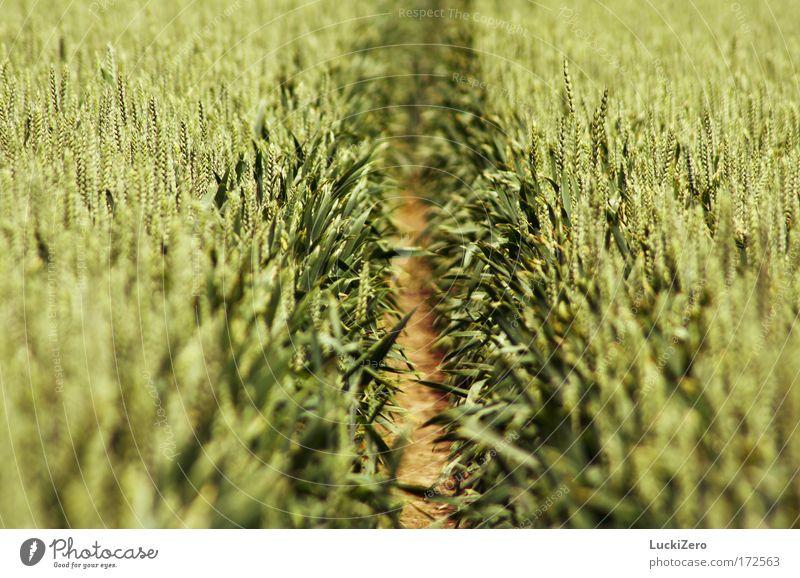 Korn | | Korn Farbfoto Außenaufnahme Detailaufnahme Strukturen & Formen Menschenleer Tag Schatten Unschärfe Schwache Tiefenschärfe Zentralperspektive Getreide