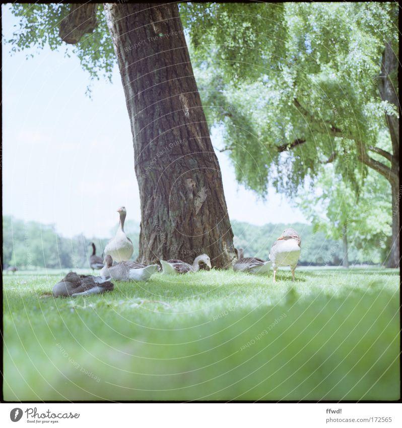 Gans natürlich Farbfoto Gedeckte Farben Außenaufnahme Tag Unschärfe Froschperspektive Umwelt Natur Pflanze Tier Baum Gras Garten Park Wiese Waldlichtung