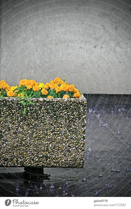 sommerregen Blume Stadt grau Mauer Regen Orange Umwelt nass Klima feucht Klimawandel nachhaltig Graz Trog