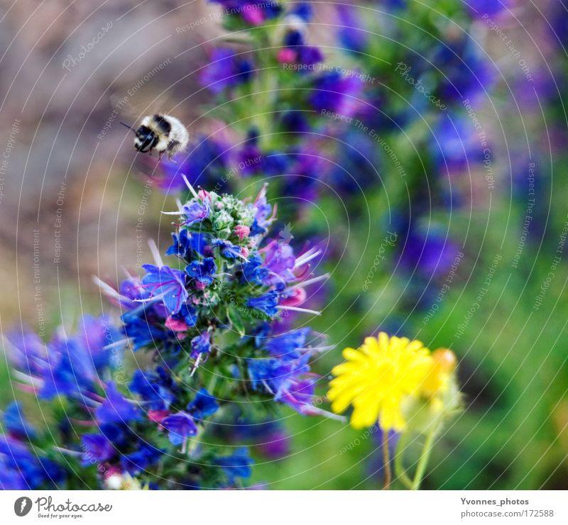 Hummelflug Natur Blume grün blau Pflanze Sommer schwarz Tier gelb Arbeit & Erwerbstätigkeit Wiese Blüte Frühling Park Landschaft