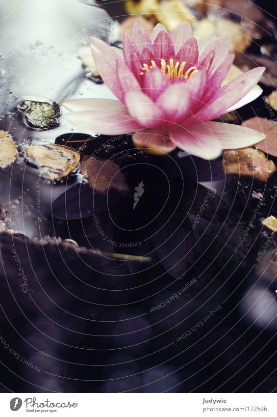 Seerosentraum Farbfoto Außenaufnahme Menschenleer Textfreiraum unten Tag Licht Reflexion & Spiegelung Umwelt Natur Pflanze Sonne Frühling Sommer Schönes Wetter