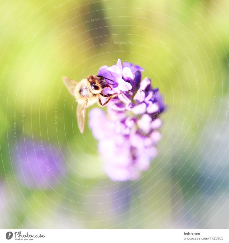 lecker Natur Pflanze Tier Sommer Schönes Wetter Blume Blatt Blüte Lavendel Garten Park Wiese Wildtier Biene Tiergesicht Flügel 1 beobachten Blühend Duft fliegen