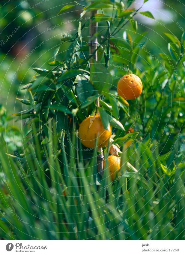 orangenstrauch Baum grün Blatt Frucht Sträucher